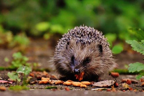 Hedgehog Food and Diet