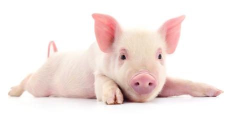 Miniature Pigs 101